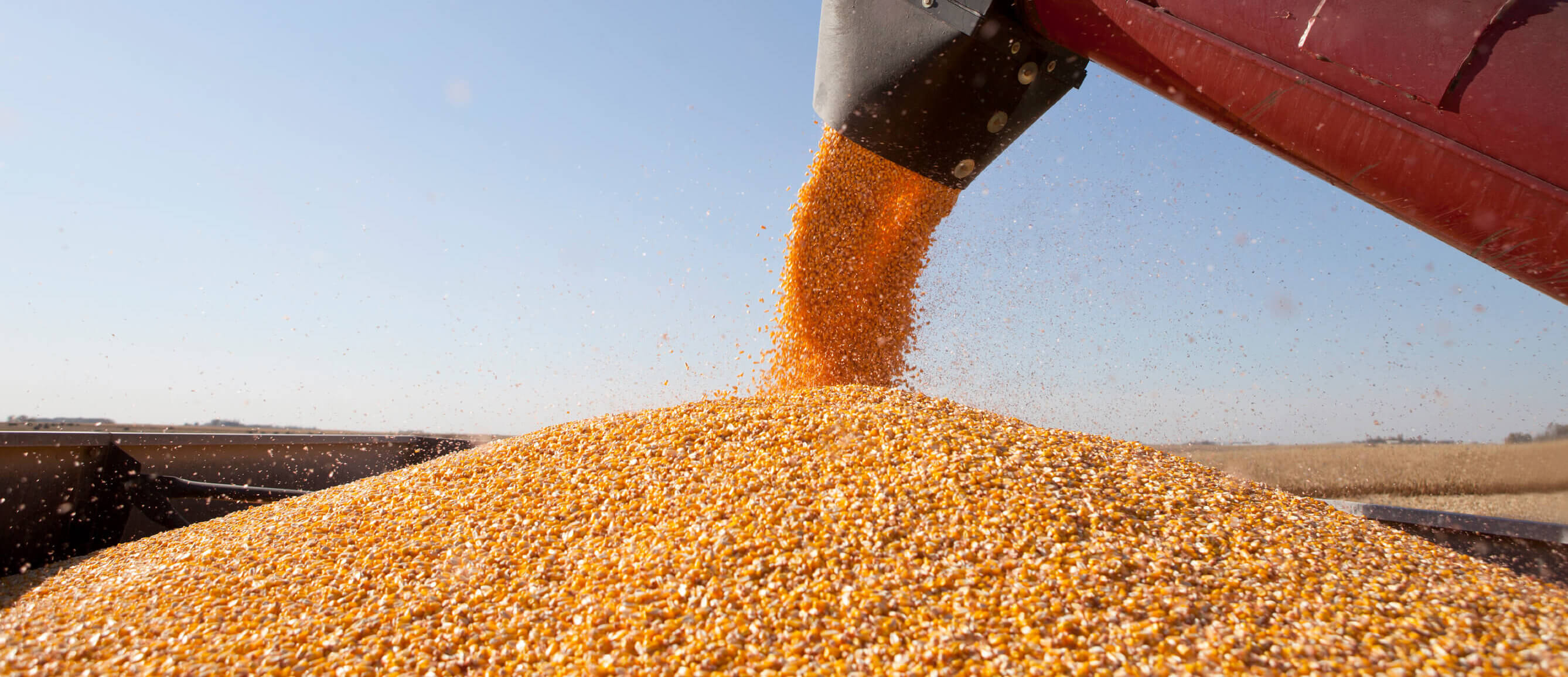 Yellow pieces of corn come out of a black and red machine onto a large pile of corn inside of a field