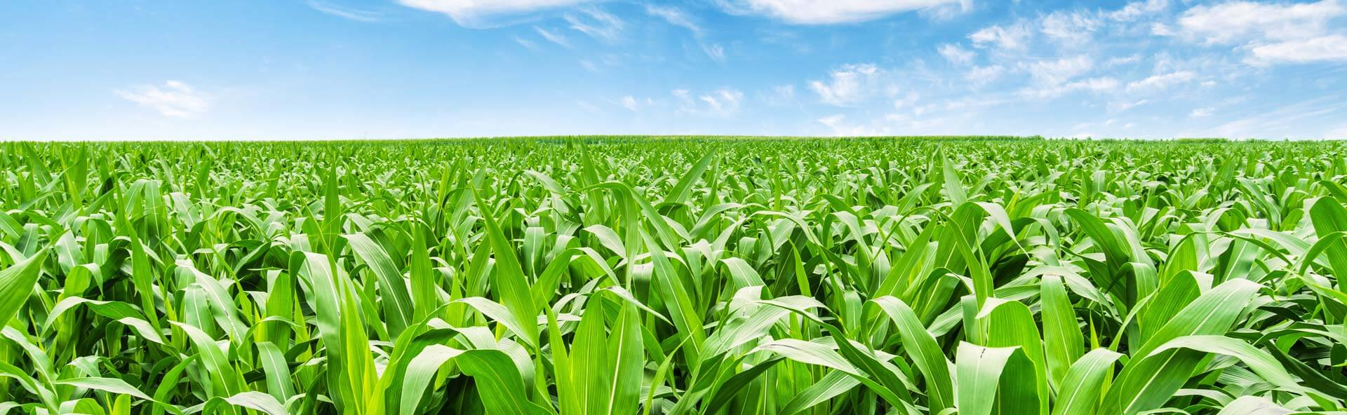 A bright blue field with white clouds above a long and wide green field with tall healthy crops