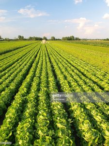 Many rows of green lettuce plants during a sunny day ready to be harvested