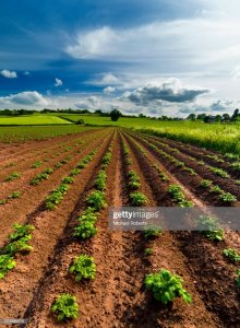 Eleven rows of growing crops coming out of brown soil with a blue sky, pasture, and green trees off in the distance.