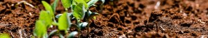 A closeup of brown soil with six different crops sprouting out of the ground