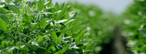 A close up view of a row of green healthy crops
