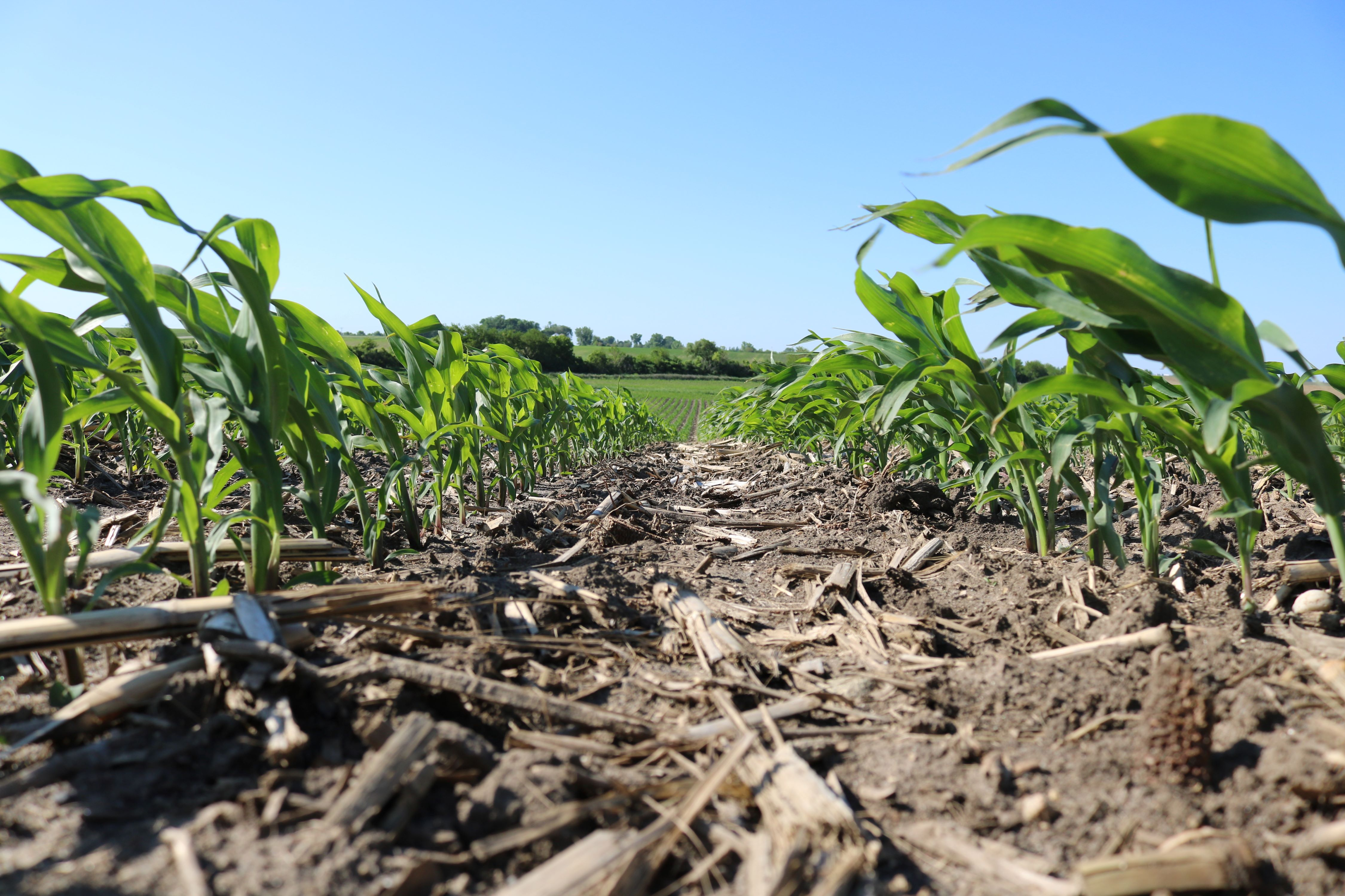 Field Corn at Growth Stage V3